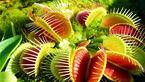 فیلم دیدنی از لحظه شکار گیاهان گوشتخوار