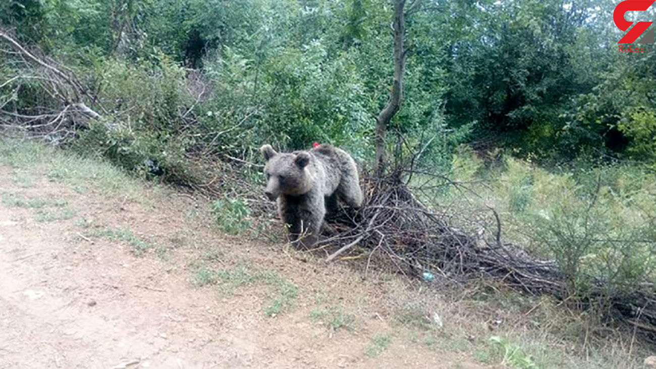 حمله خونین خرس وحشی به چادر عشایر در اصفهان