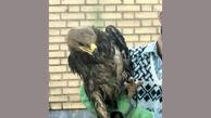 دست شکارچیان غیرمجاز به عقاب صحرایی نرسید