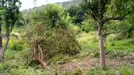 قلع و قمع درختان جنگل چالوس برای تبدیل به ویلا + فیلم