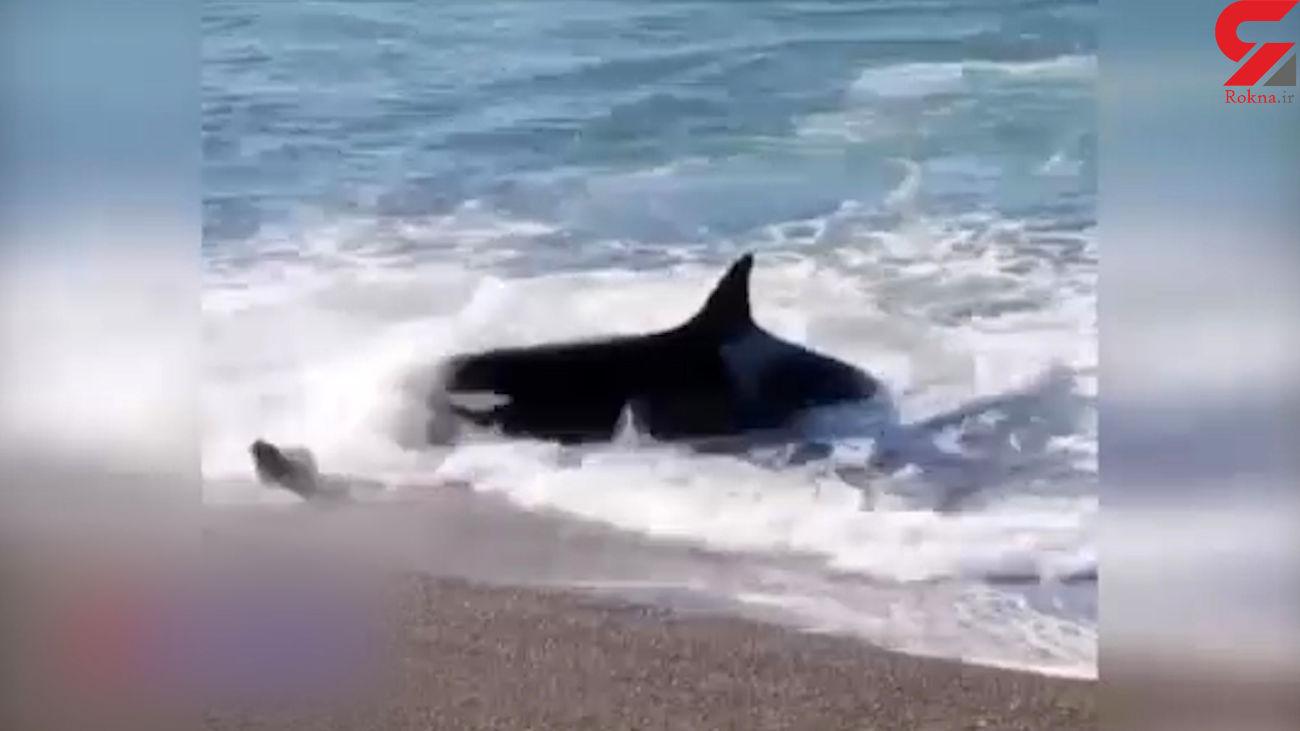 فیلم حمله نهنگ قاتل برای شکار در خشکی + فیلم