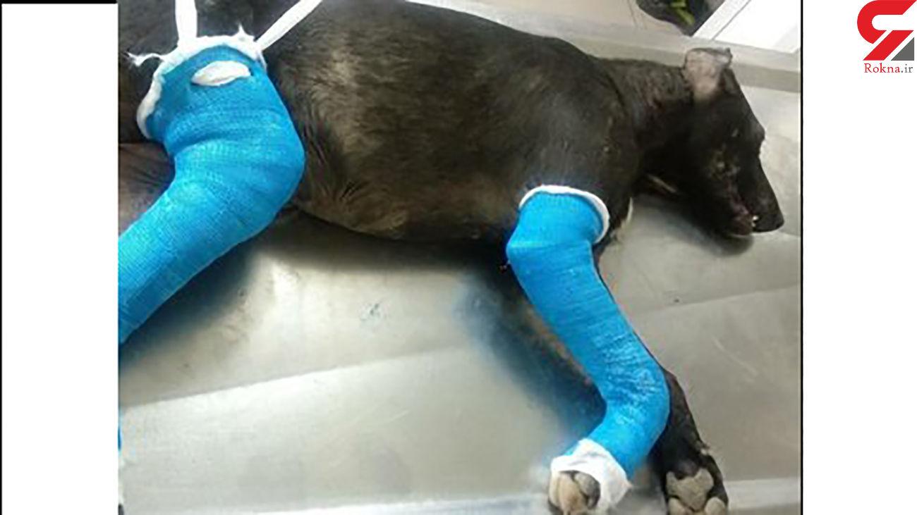 عکس تلخ از سگی که دست و پایس توسط سگ آزار رودسری شکسته شد + جزییات بازداشت