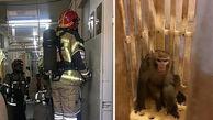 میمون فراری بلاخره دستگیر شد!+عکس