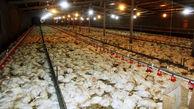 تلف شدن 200 مرغ در ایلام