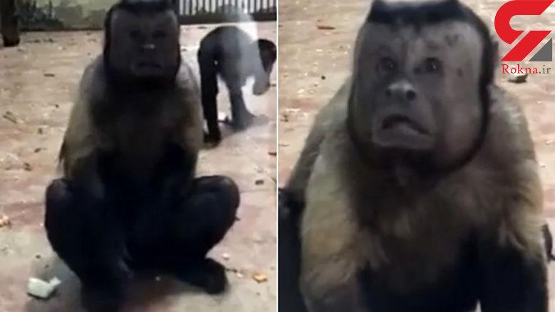 شبیه ترین میمون به انسان / همه با دیدن این فیلم شوکه شدند!  + فیلم و عکس