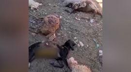 فیلم حمله خونین گرگ های وحشی در خراسان+ فیلم