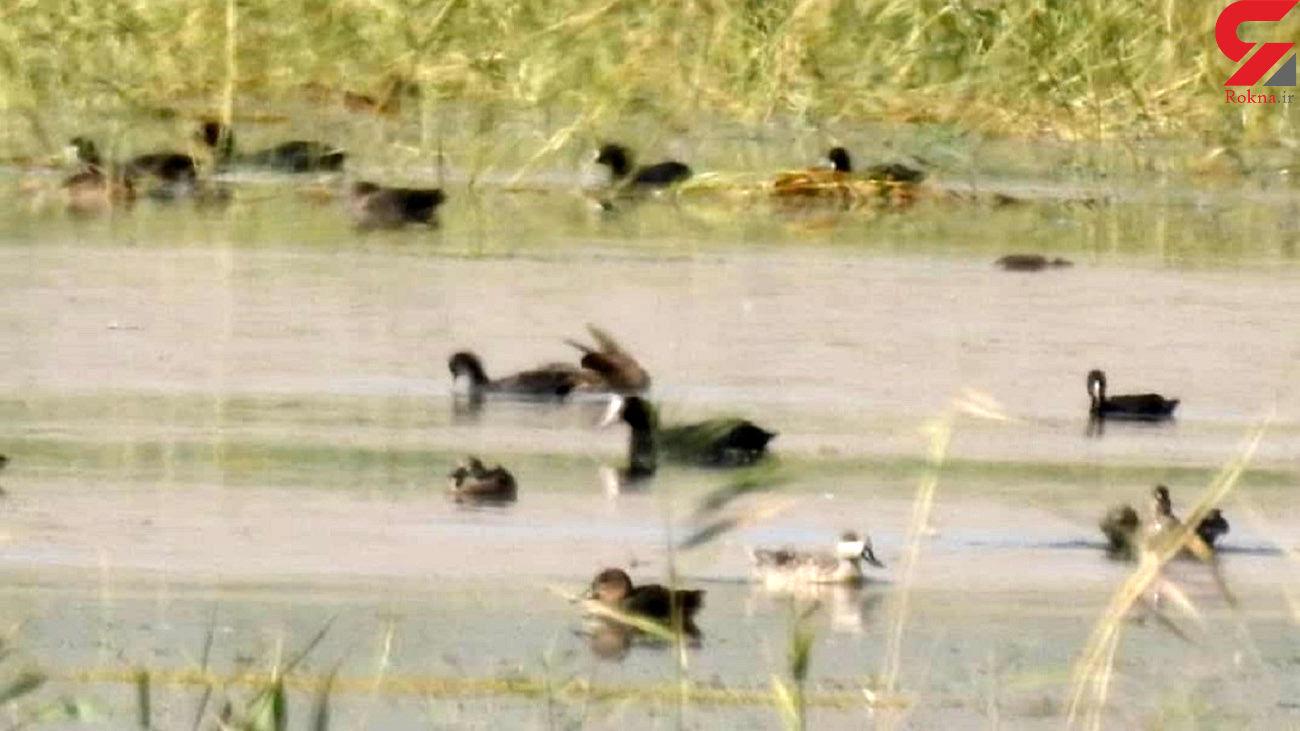 اردک مرمری در تالاب گندمان دیده شد