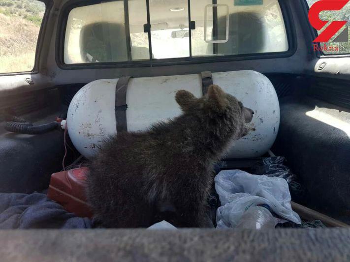 نجات یک قلاده توله خرس از مارگزیدگی