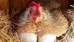 قیمت مرغ و تخم مرغ در بازار / برخورد جدی با گران فروشان + جدول