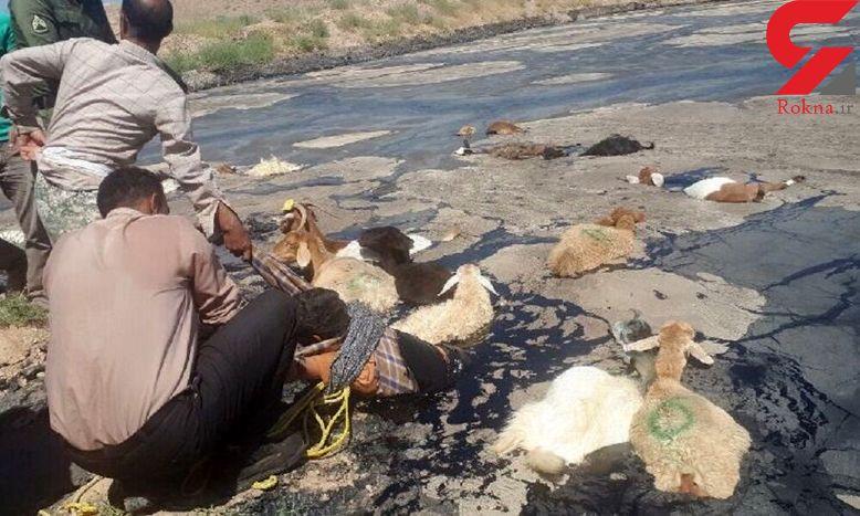 سقوط چوپان و ۱۵ راس گوسفند به حوضچه قیر
