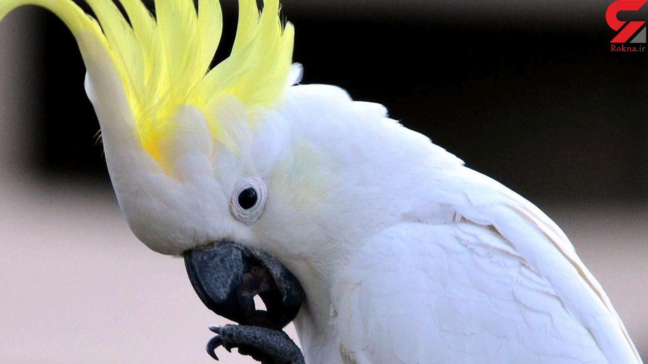 طوطی های سفید استرالیا را به هم ریختند + فیلم