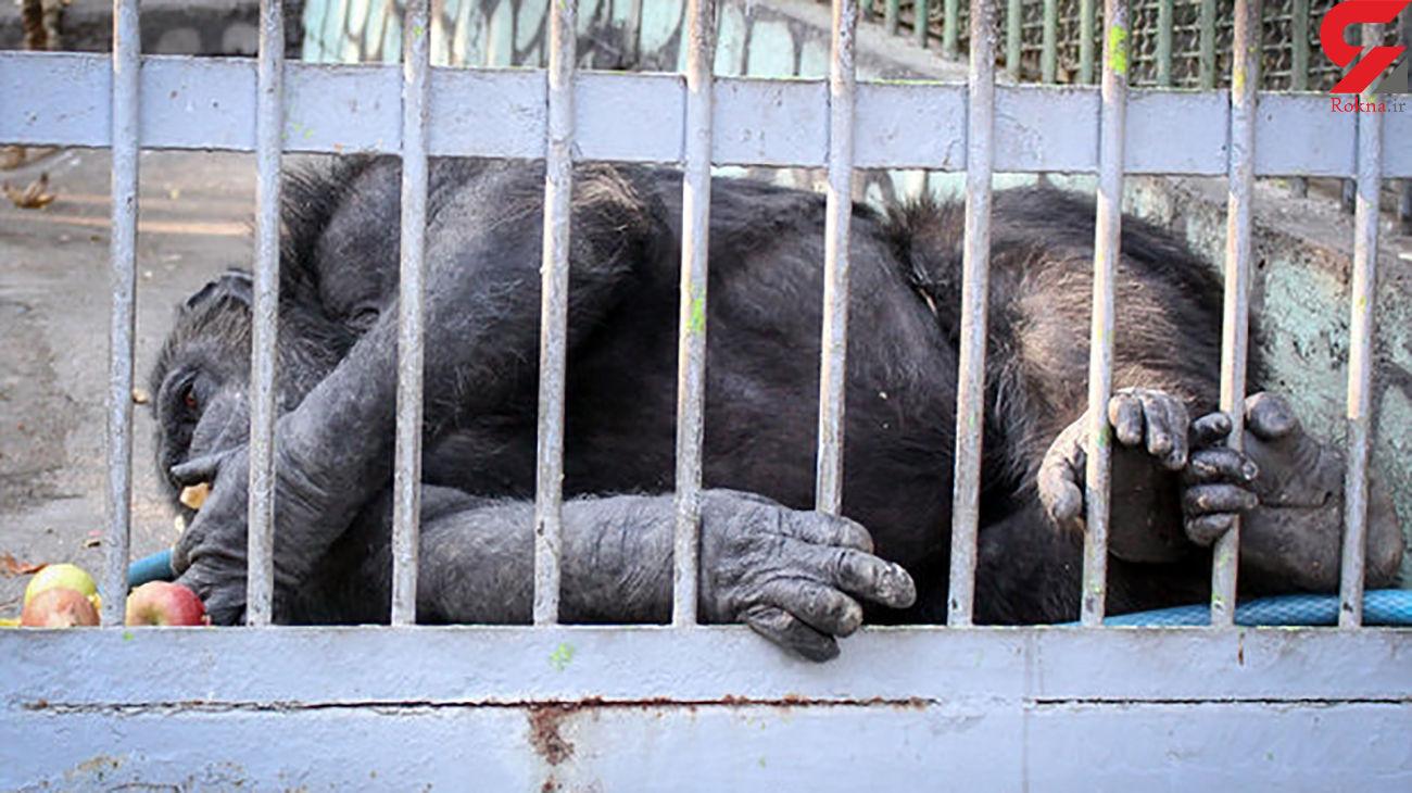 کرمی : جایگاه شامپانزههای پارک ارم استاندارد است