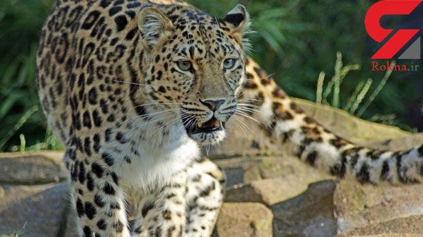 حمله پلنگ جنگل سیاه مزگی به چوپان شفتی
