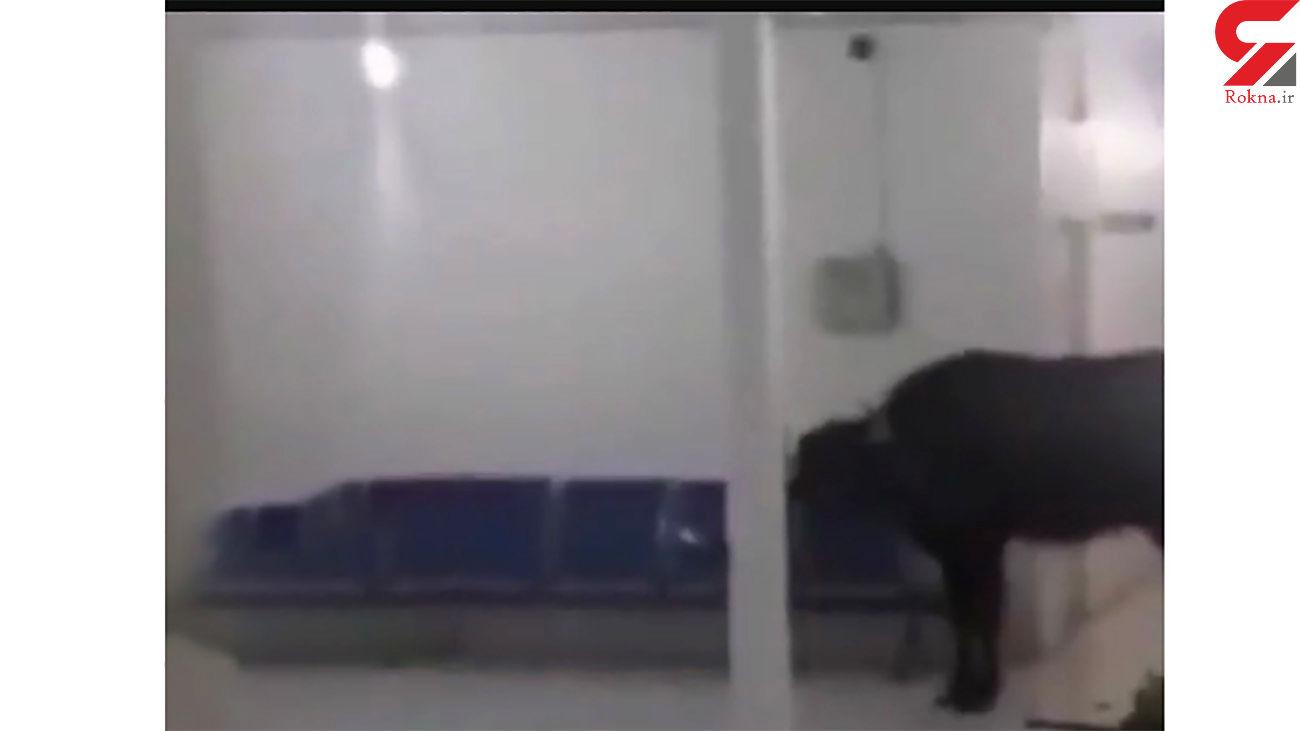 فیلم حمله وحشت آور گاومیش به ساختمان یک ساختمان مهم در اهواز + عکس