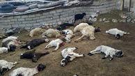 حمله گرگ های وحشی به شهرستان بیشه ! / همه وحشت کردند