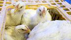 کشف بیش از 7 هزار قطعه مرغ قاچاق در دره شهر