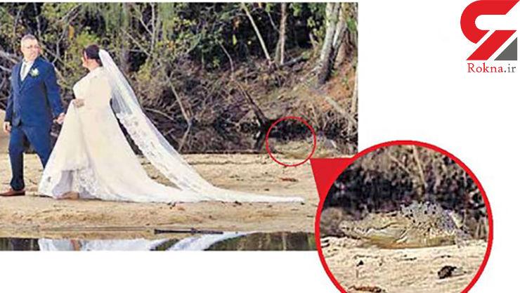 عروس و داماد نمی دانستند کنار تمساح ها عکس می اندازند؟! + عکس