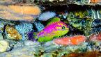 کشف گونه جدید ماهی با رنگهای نئونی + عکس