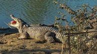 تمساح ایرانی داخل خانه مرد روستایی شد ! / همه از ترس جیغ زدند !