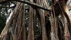 کهنسالترین درخت انجیر در جهان+تصاویر