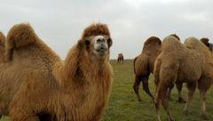جشنواره شتردوکوهانه در بیله سوار برگزار میشود