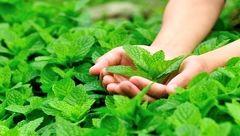 مدیریت استرس با این سبزی خوشبو