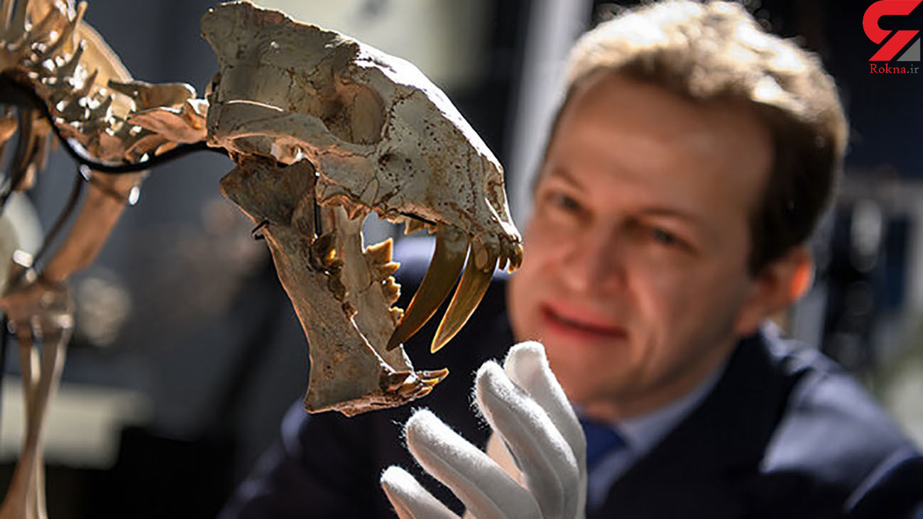 اسکلت 37 میلیون ساله این ببر حراج گذاشته شد + عکس