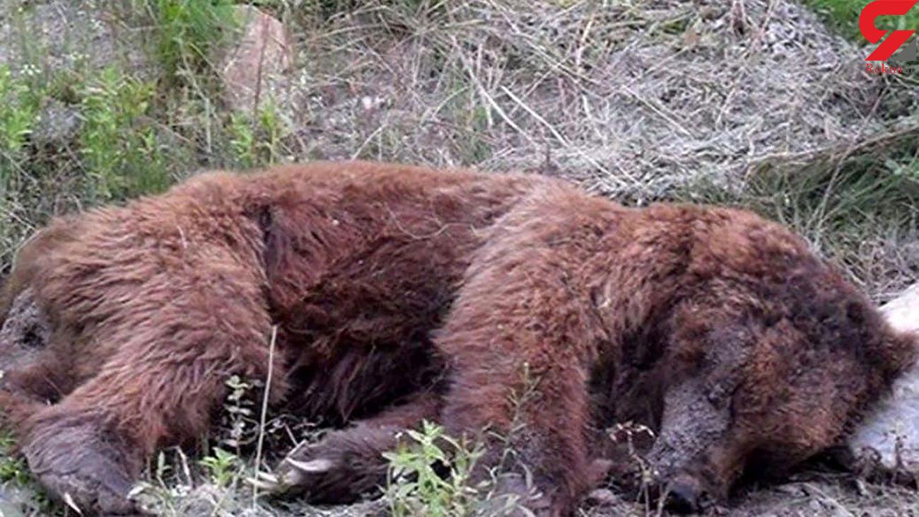 عکس تلخ از لاشه خرس قهوه ای در سمیرم / با گلوله کشته شد