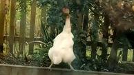 تلاش بامزه یک مرغ برای چیدن سیب + فیلم