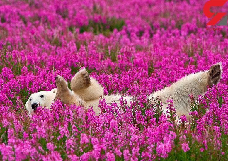 خرس قطبی در دشت گل!