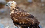 دستگیری فروشنده پرنده شکاری در تبریز