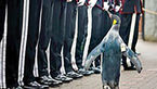 این پنگوئن نروژی سرتیپ شده است+عکس