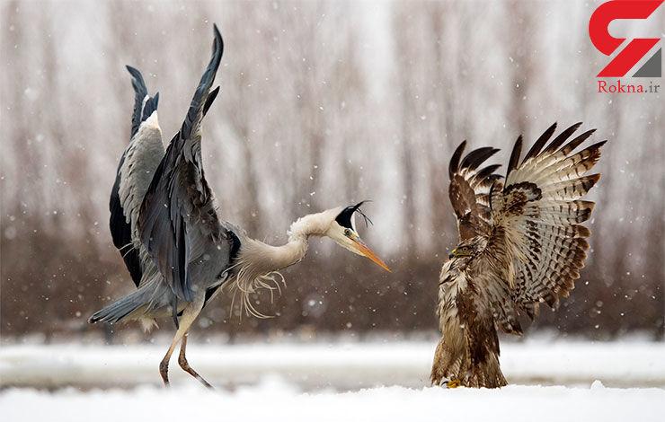 زهر چشمی برای عقاب