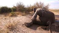 کشته شدن 144 هزار فیل در 7 سال توسط قاچاقچیان +تصاویر