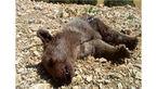 مرگ تلخ توله خرس قهوهای در مرودشت +عکس