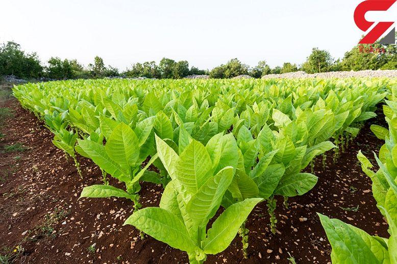 درمان چند بیماری رایج با گیاه تنباکو