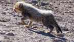 خودنمایی یوزپلنگ ماده با 4 توله اش در پارک ملی توران + عکس