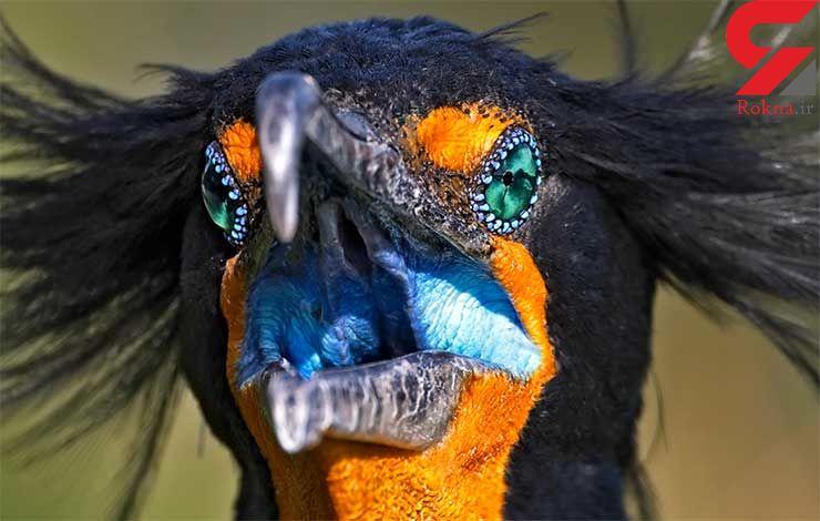 پرنده زیبا، اما آشفته + عکس