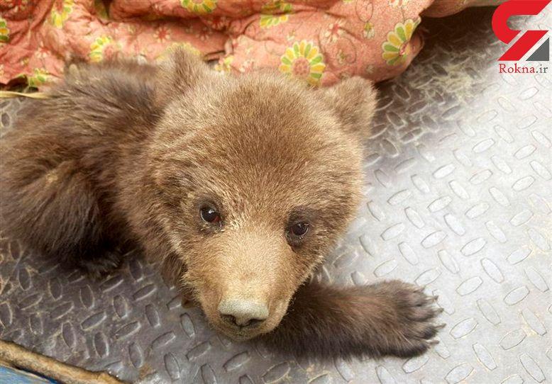 این بچه خرس خوشگل در سیل گیلان از مادرش جدا افتاد + عکس
