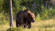 حمله خرس وحشی به زن کوهرنگی / برای او دعا کنید