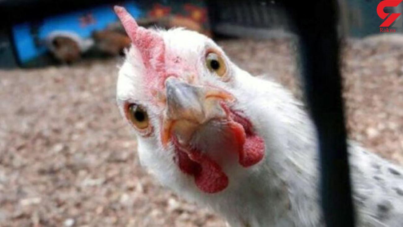 قیمت مرغ افزایش یافت / ورود به کانال سی هزارتومان