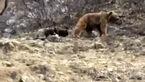 گشت و گذار خرس با 2 توله اش در ارتفاعات سوادکوه + فیلم