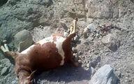 وحشت از حمله خونین پلنگ وحشی در میناب