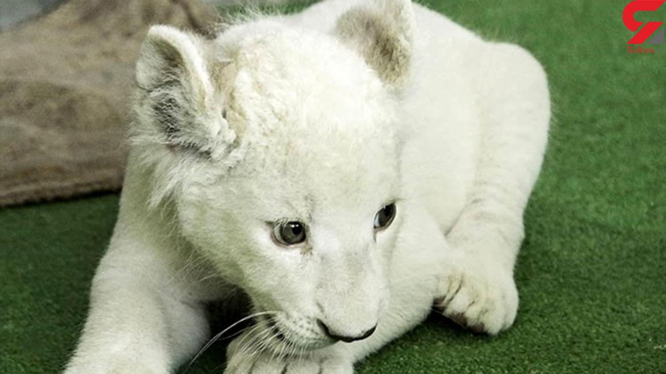 بچه شیر سفید کمیاب در باغ وحش هویزه تلف شد +عکس