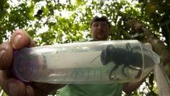 کشف غول پیکرترین زنبور جهان