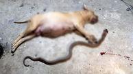 سگ قهرمان، جان صاحبش را نجات داد + عکس