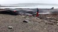 مرگ تلخ یک نهنگ در ساحل دریا + فیلم