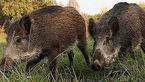 حمله دسته جمعی گراز های وحشی به خلخال