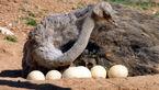 اطلاعات مفید درباره پرورش شتر مرغ