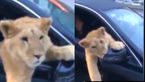 پرسه زنی 2 پسر جوان با یک شیر در خیابان + فیلم و عکس